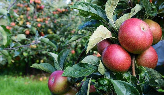 Apfelbaum Ertrag steigern