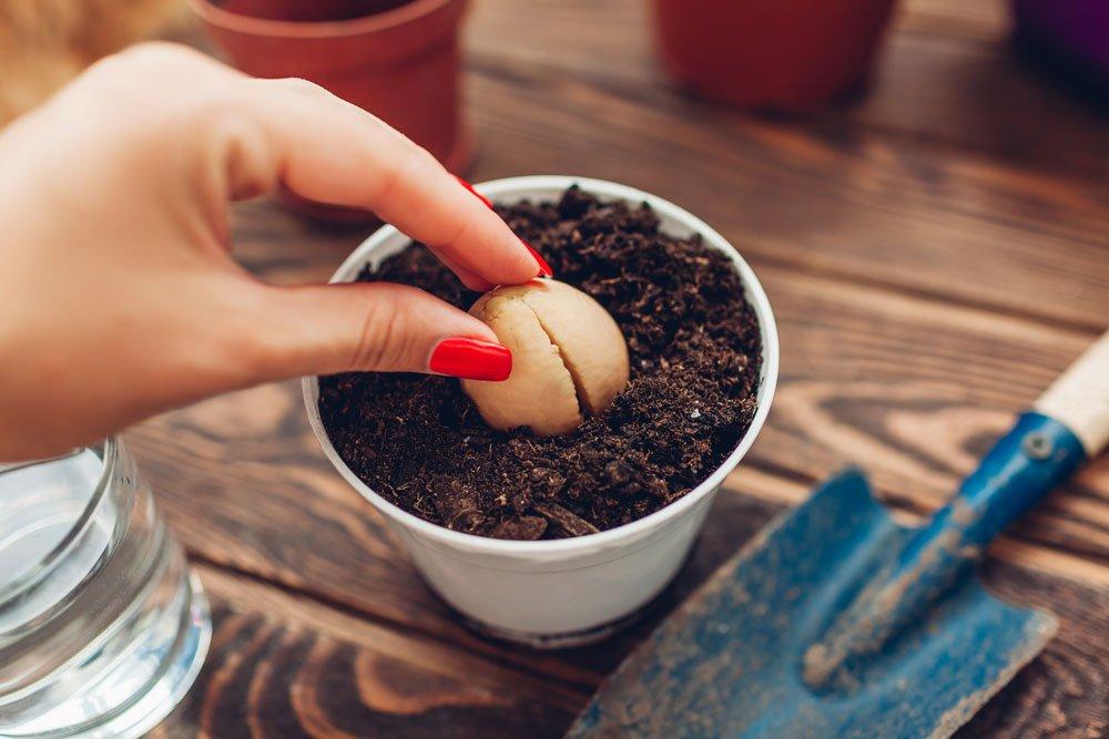Avocadokern in Erde pflanzen