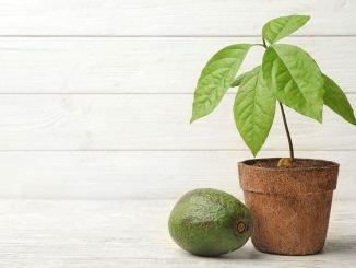 Avocadopflanze im Topf