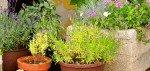 Mediterrane Pflanzen für den Balkon