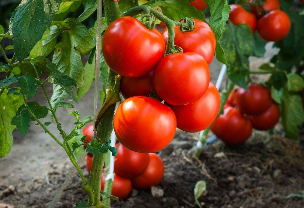 blutdrucksenkende Lebensmittel - Tomaten