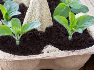 eierkarton pflanzen