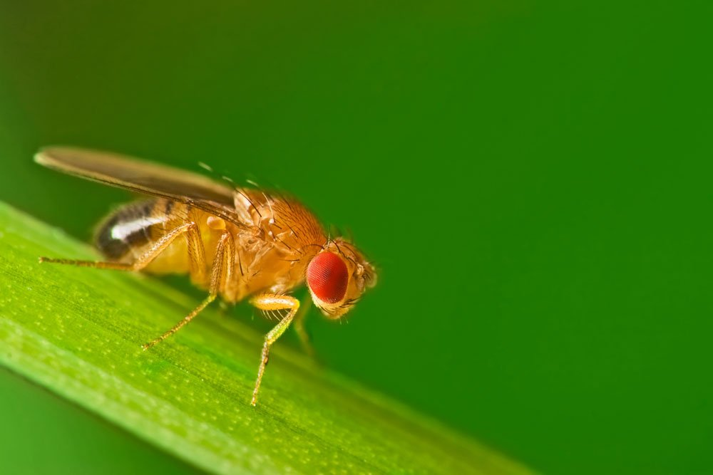 Fruchtfliegen Loswerden 10 Wirkungsvolle Tipps Gegen Obstfliegen