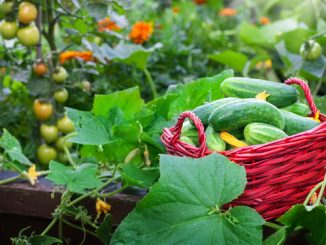 Gemüse Schädlinge