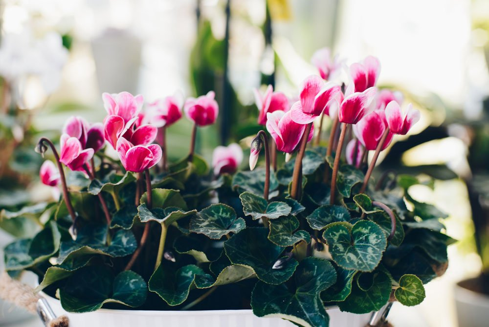 giftige Pflanzen: Alpenveilchen