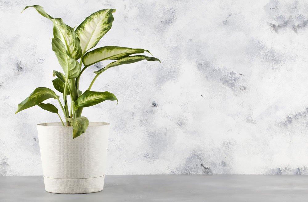 giftige Pflanzen: Dieffenbachie