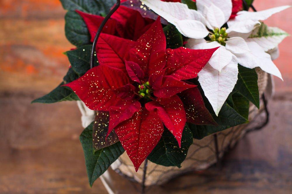 giftige Pflanzen: Weihnachtsstern