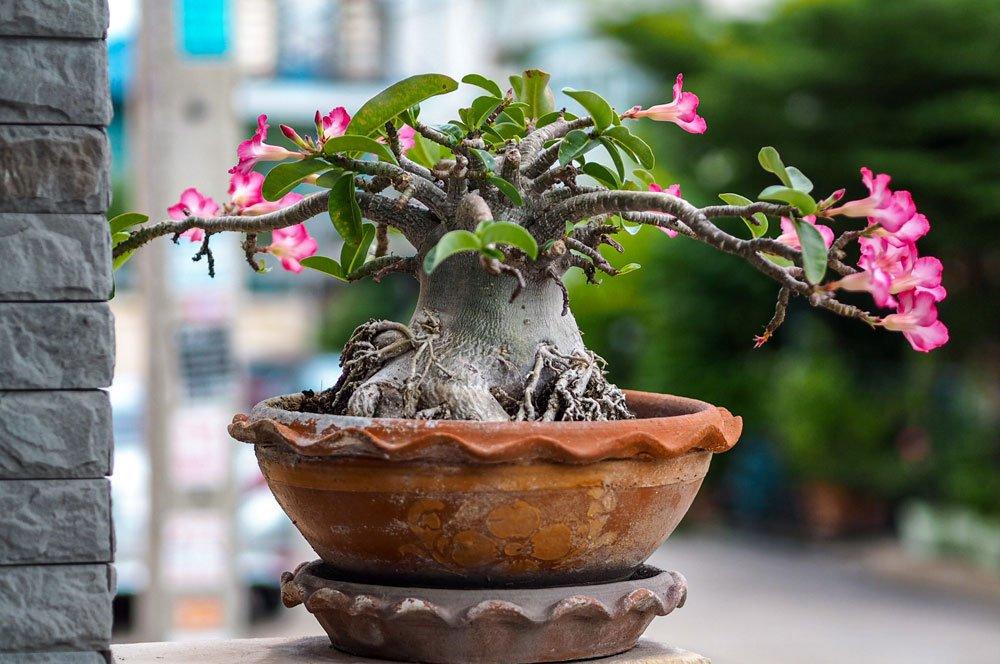 giftige Pflanzen: Wüstenrose
