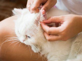 Katze Ohrpflege