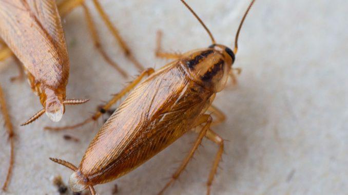 Küchenschaben Bekämpfen Fallen Und Hausmittel Gegen Kakerlaken
