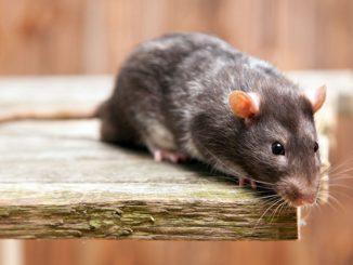 Mäuse bekämpfen