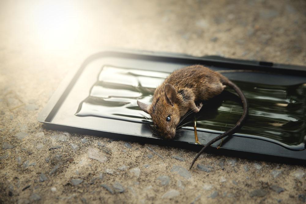 Mäuse fangen Kleber