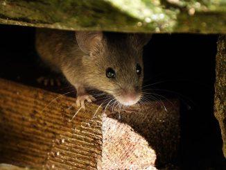 Mäuse verhindern vorbeugen