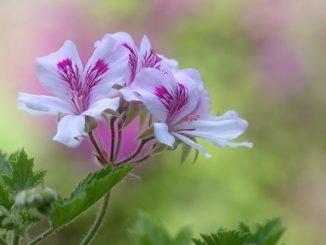 Pflanze gegen Mücken