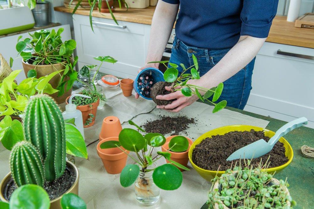 Zimmerpflanze umtopfen
